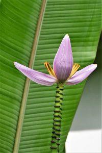 banana-flower-3173137_960_720